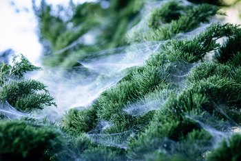 Tree Infestations With Webs