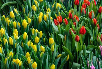 Can Tulip Bulbs Be Planted in Late Winter or Early Spring
