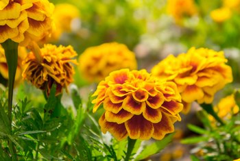 Do Marigolds Come Back Each Year?