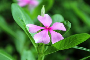 Does Vinca Like the Sun?