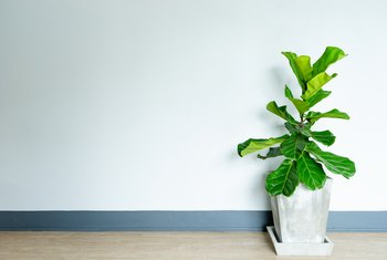 Can a Fiddle Fig Survive in Full Sun?