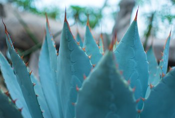 How to Grow Blue Agave