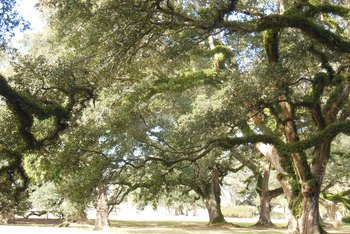 How to Tell the Difference Between a Live Oak & a Water Oak Tree