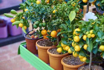Citrus Problems of Immature Fruit Falling From the Tree