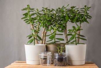 The Low Temperature for Jade Plants