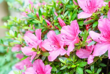 Deciduous vs. Evergreen Azaleas