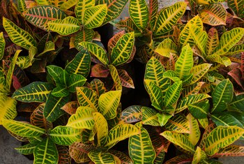 Croton Plants for Outdoors