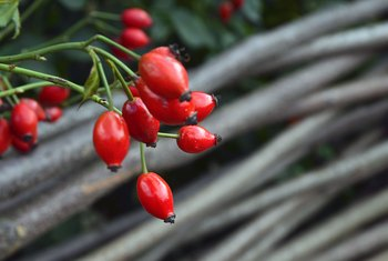 How to Propagate Roses With Rose Hips