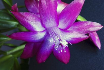 When & How to Split Up & Transplant a Christmas Cactus
