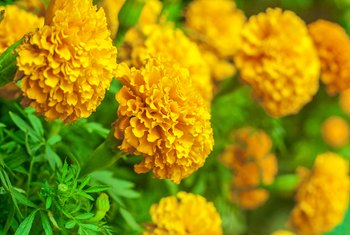 Time of the Year to Plant Marigolds