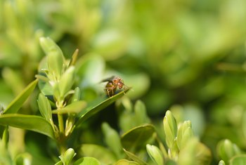 When Is a Good Time to Plant Boxwoods?