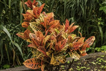 The brilliantly colored leaves of the croton (Codiaeum spp.) brighten indoor and outdoor gardens in U.S. Department of Agriculture plant hardiness zones 10 through 12.