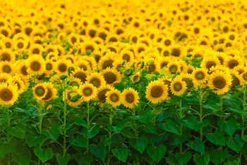 How to Care for Sunflowers Inside