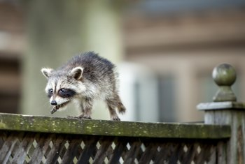 How to Keep Raccoons Away From Your House