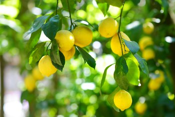Homemade Lemon Tree Fungal & Pest Spray