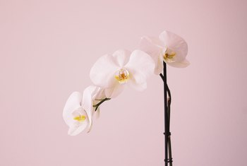 How to Fix Overwatering in Orchids