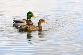 How to Keep a Duck Pond Clean Naturally