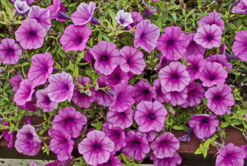 How to Save a Wave Petunia in a Hanging Basket That Is Getting Dead Leaves