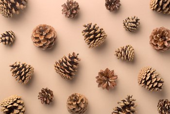 How to Germinate Pine Cone Seeds