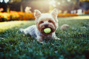 After Fertilizing Your Lawn, When Is it Safe to Let Your Pets on the Lawn?