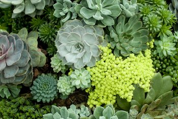 How to Get Succulents to Bloom