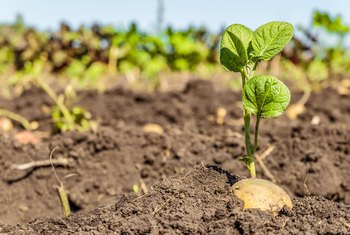 What Kind of Fertilizer Is Needed for Potato Plants?