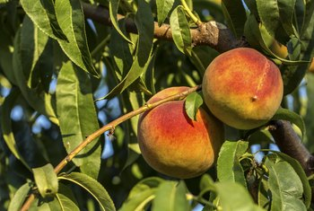 How to Keep Varmints From Eating Peaches Off Trees