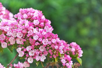 It is almost hard to believe that the mountain laurel (Kalmia latifolia, which grows comfortably in USDA plant hardiness zones 5 to 9) carries within it a deadly poison.