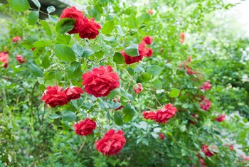 How to Make a New Rose Bush From a Piece of a Rose Bush
