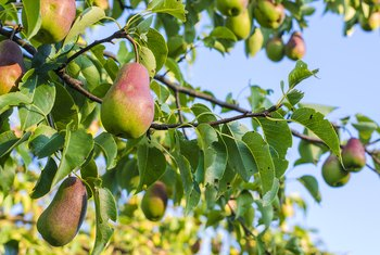 The Best Month to Trim Bradford Pear Trees