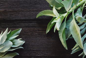 How to Grow White Sage