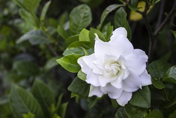 How Often Should You Water Gardenia?