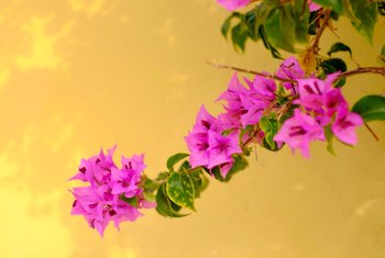 Why Bougainvillea Won't Bloom