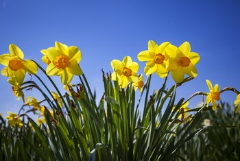 Can You Move Daffodils After They Flower?
