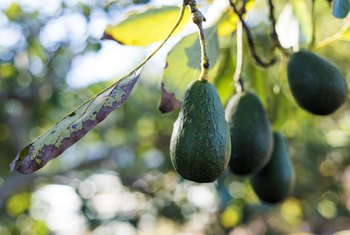 What Climate Does an Avocado Tree Need to Grow