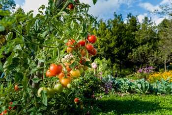 How Long Does it Take for a Tomato Plant to Produce