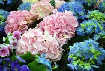 How to Water Hydrangeas