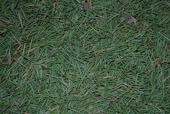 Do Pine Needles Kill Grass?