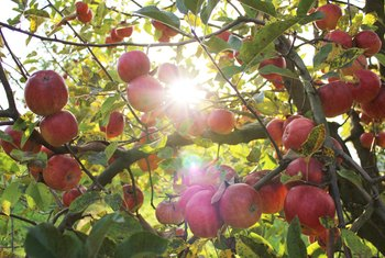 How to Spray Apple Trees for Insects Naturally