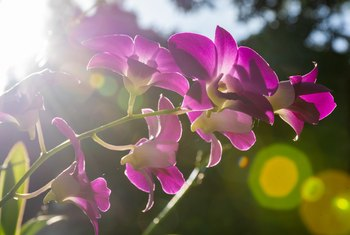 How to Care for Black Spots on the Leaves of Orchid Plants