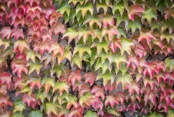 How to Start a New Virginia Creeper From an Old Plant