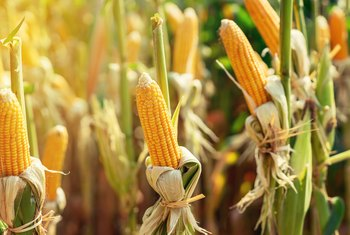 How Much Corn Will One Corn Plant Produce?