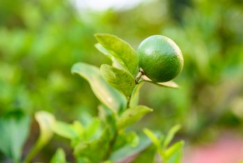 How Long Does It Take to Grow Limes?