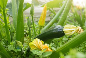 How Long Will a Zucchini Plant Produce?