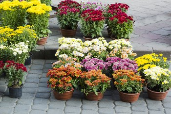How to Make Potted Mums Come Back