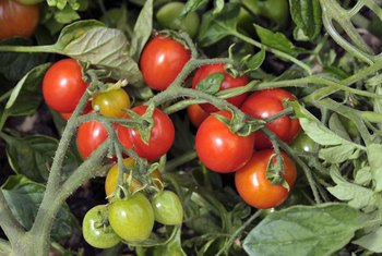 What Is the Amount of Calcium to Add to Tomato Plants?