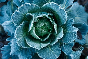 Natural Remedies for Bugs on Cabbage Plants