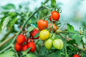 Natural Ways to Kill Blight on Tomatoes