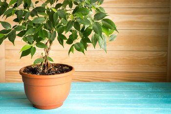 How Much Water Do Potted Ficus Trees Need?
