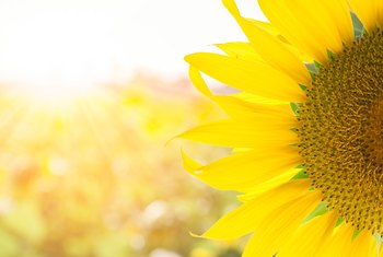 What Types of Environments Do Sunflowers Grow In?